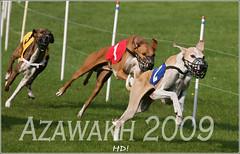 Silverdale-Azawakhs_2009