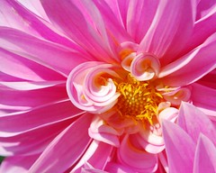 (dfran07) Tags: pink flower macro nikon d60 top20flowers flowerscolors top20everlasting awesomeblossoms