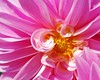 (deanna.f) Tags: pink flower macro nikon d60 top20flowers flowerscolors top20everlasting awesomeblossoms