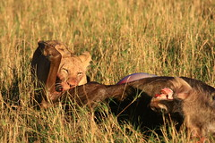 Hungry cub
