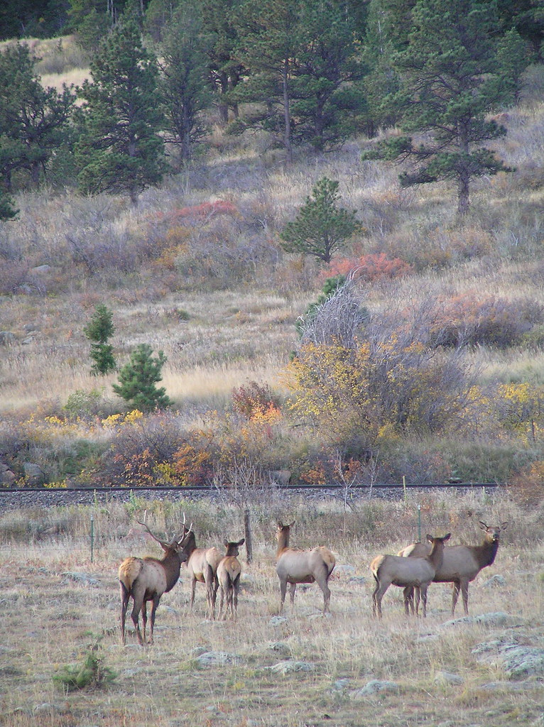 Coal Creek Canyon Elk