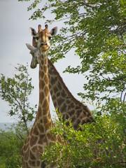 Giraffes (John D McKenna) Tags: elephant bird southafrica crane lion rhino giraffe wildebeest kruger sodwana barbet kurisamoya