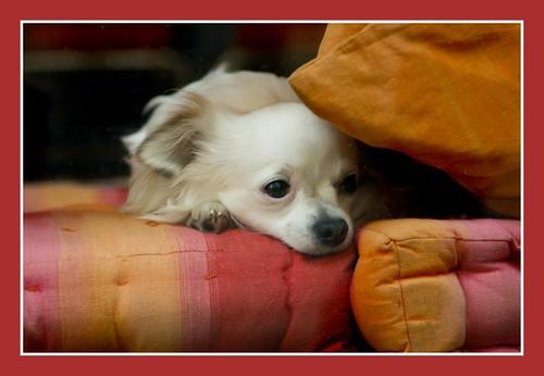 rustende hond