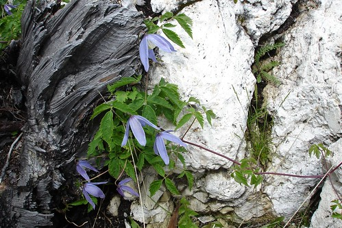 Alpine Virgins' Bower (Clematis alpina)