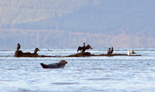 Seal and cormorants