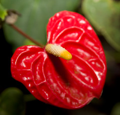 Red tropical flower (Theresa Elvin) Tags: red flower sheffield tropical anthurium tropicalbutterflyhouse northanston wonderfulworldofflowers andreaenum