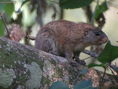 Mutable Sun Squirrel, Zomba Plateau (Malawi), 27-Sep-08 (Dave Appleton) Tags: sun animal animals mammal squirrel malawi zomba mutable zombaplateau mutablesunsquirrel