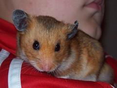 100_0849 (lfcgirl) Tags: hamsters