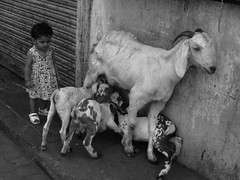 Marziya Shakir and the Goats by firoze shakir photographerno1