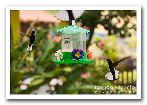 hummingbirds / colibrís