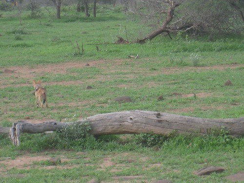 A black-backed jackal loses interest in the dwarf mongoose hiding in the dead tree