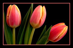 Trio of Tulips (Vanda's Pictures) Tags: pink yellow three petals tulips vanda trio excellence auniverseofflowers
