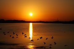 Sunset 20081203 (Swan*Swan) Tags: autumn sunset sky orange lake water japan canon colored waterfowls natureselegantshots