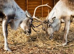 Reindeer (Surely Not) Tags: street gardens reindeer scotland nikon edinburgh deer fighting princes raindeer d300 yourphototips