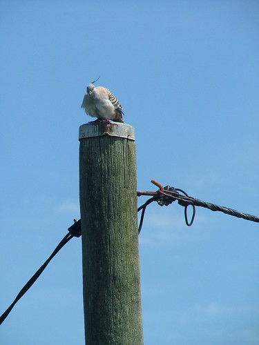 Crested Pidgeon