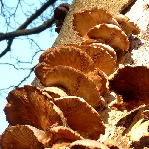 Fungi on tree 27Dec08