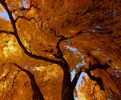 twisted light and shadow (Outrageous Images) Tags: autumn tree fall leaves gold photoshopped outrageousimages davewadsworth