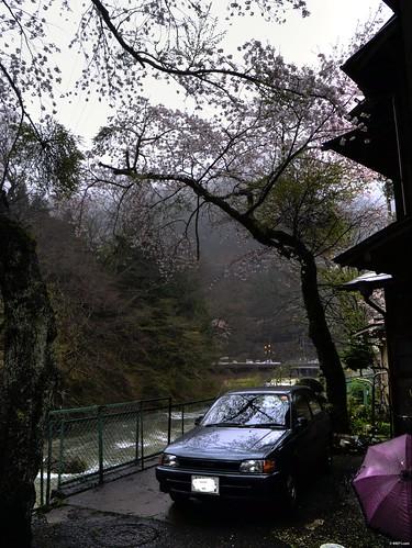 四万温泉 落合通り 桜
