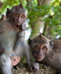 bali forest indonesia mammal temple monkey sony uluwatu monkeys alpha primates a900