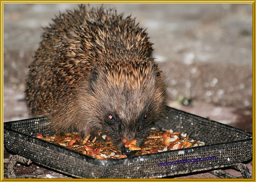 Young Hedgehog 1