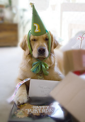 "The Party (""Pawty"") (VeryViVi) Tags: birthday party dog goldenretriever doggy 2ndbirthday missvivigold veryvivi"