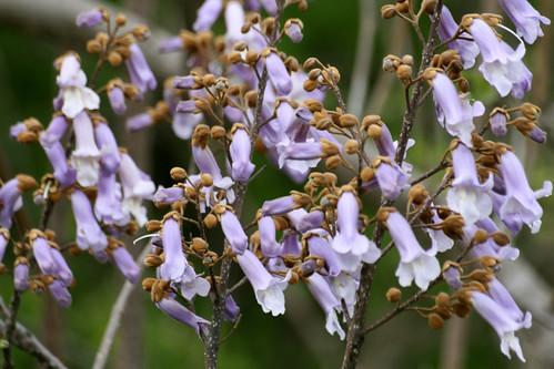 Royal paulownia, Paulownia tomentosa