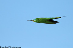 Green Arrow (A.alFoudry) Tags: blue green bird canon eos fly flying fast bee arrow kuwait usm  ef kuwaiti eater q8 30d beeeater abdullah 400mm  kuw canoneos30d q80 f56l  xnuzha alfoudry canonef400mmf56lusm  abdullahalfoudry foudryphotocom  kvwc kuwaitvoluntaryworkcenter