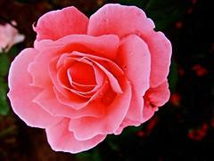 Rosa (Pedro Cavalcante) Tags: fleur flora fuji finepix fujifilm blomma bunga 花 blume fiore blomst bulaklak hoa ua flore bloem lill פרח çiçek زهرة kwiat blodyn گل lule blom цвет cvijet λουλούδι cvet ดอกไม้ 6500 кветка gėlė květina kvetina цвете s6500 puķe फूल s6500fd floarea בלום fjura квітка bláthanna finepixs6500 top20pink finepix6500 pedrocavalcante kukkien virága