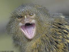 Pygmy Marmoset calling (gentle lemur) Tags: pygmymarmoset twycrosszoo callithrixpygmaea
