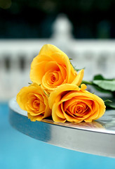 (7oO7oO) Tags: morning roses 3 flower home pool rose yellow three kuwait goodmorning triplet 2008 badmood 7070 7oo7oo