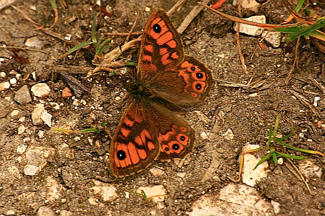 Wall Brown Butterfly Basking in Chalky Terrain