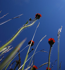 Summer Giants (Elsa Prinsessa) Tags: flowers blue summer orange plants nature catchycolors iceland reykjavik elsa straws blueribbonwinner mywinners catchycolorblue catchycolororange diamondclassphotographer flickrdiamond elsaprinsessa elsabjrgmagnsdttir
