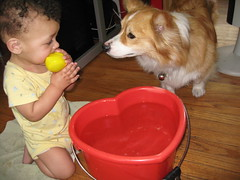 is that my toy too?  (2 of 5) (sansanparrots) Tags: friends red dog baby cute wet water pool june yellow fun duck bucket corgi play jake heart pals 10monthsold 2008 chowtime kaleycorgi kidjake