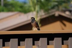 Myna! Myna! Myna Bird! (WilWheaton) Tags: vacation bird hawaii maui tropical wilwheaton wwdn
