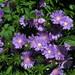 Foto: Korenbloemaster 'Purple Parasols'
