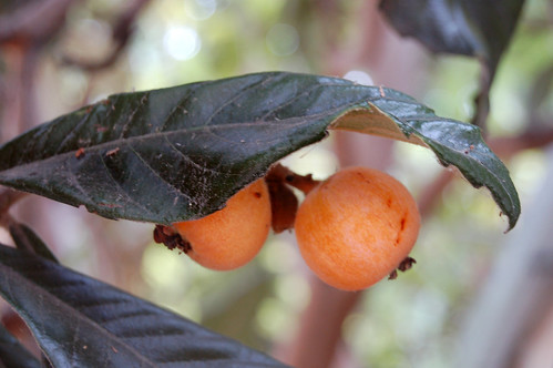 Loquats by Eve Fox copyright 2008