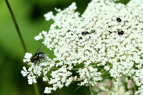 Black Fly/ White Flower