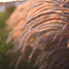 dancing in the breeze (CortneyR-) Tags: ocean sunset sea plants 50mm dof bokeh f14 side breeze eveningwalk niftyfiftyfriday