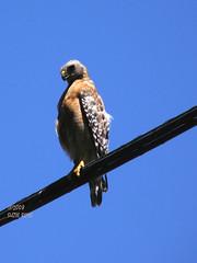 On the Wire (Kazooze) Tags: bird nature hawk critter redshoulderedhawk honeybunch srj