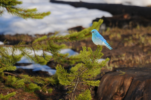 Mountain Bluebird(Sialia currucoides) by Robinsegg.