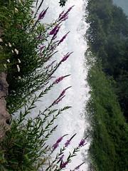 Flowers on the Edge (pinguerin) Tags: niagarafalls americanfalls loostrife