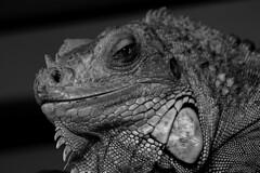 iguana (Leo Reynolds) Tags: bw animal fauna photoshop canon eos zoo reptile lizard f45 iguana iso1600 140mm 0ev canonef70300mmf456isusm 40d hpexif 0017sec leol30random groupallanimals groupbw groupsepiabw groupnorfolk xleol30x xratio3x2x xxx2008xxx