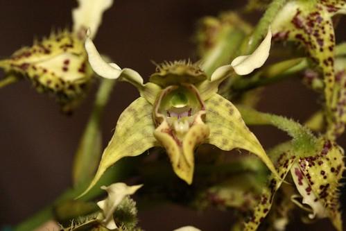 Dendrobium polycema
