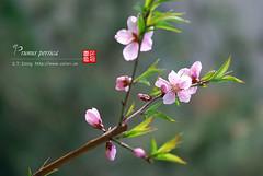 2008_04090050 (chinaphila) Tags: flower flora prunus cerasus rosaceae