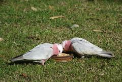 DSC01204 (Edinburgh David) Tags: bird australia cockatoo galah galahcockatoo rosebreastedcockatoo