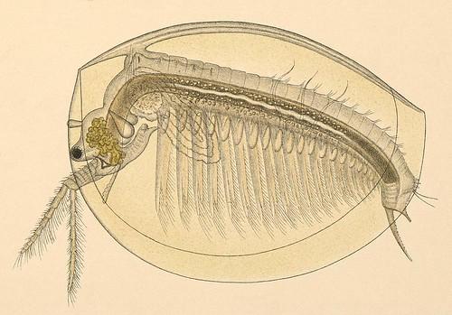 Limnadia lenticularis detail