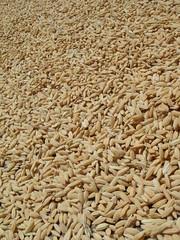 DSC03189 (outsidemanila) Tags: palay albay ricegrains bolotiwialbay
