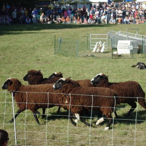Sheep-herding demo