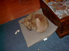 IM001019 (dvtol58) Tags: pet sora lurcher