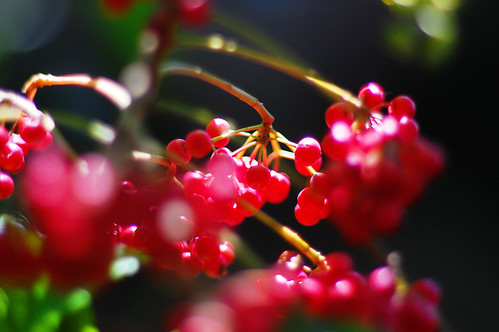 """""""On the motionless branches of some trees, autumn berries hung like clusters of coral beads, as in those fabled orchards where the fruits were jewels . . ."""""""
